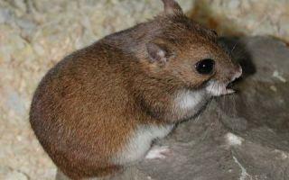 Хомяк Эверсманна: особенности породы, условия обитания и правильный уход