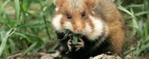 5 проверенных способов борьбы с дикими хомяками на садовом участке