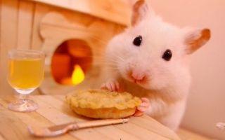 Как кормить хомяка в домашних условиях