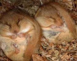 Сколько спят хомяки и впадают ли они в спячку?
